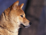 Shiba Inu Profile