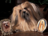 Lhasa Apso with Framed Pictures of Other Lhasa Apsos