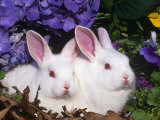 Two Albino New Zealand Domestic Rabbits  USA