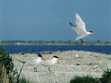 Caspian Terns  Breeding Colony on Island in Baltic Sea  Sweden
