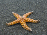 Ochre Seastar  Exposed on Beach at Low Tide  Olympic National Park  Washington  USA