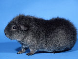 Rex Guinea Pig