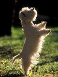 West Highland Terrier / Westie Standing on Hind Legs