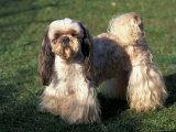 Shih Tzu Standing on Grass with Short Facial Hair and Showing Long Hair on Legs