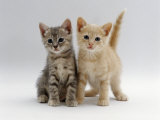 Domestic Cat  Tabby and Cream Kittens