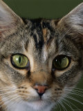Domestic Cat  Tabby Tortoiseshell  Close-Up of Eyes with Pupils Dilated Closed in Bright Light