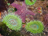 Giant Green Anemones  and Ochre Sea Stars  Olympic National Park  Washington  USA