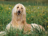 Afghan Hound Lying in Grass