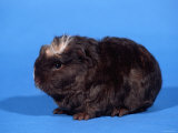 Merino Guinea Pig