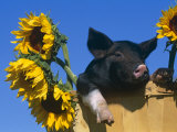 Domestic Piglet in Bucket with Sunflowers  USA