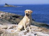 Labrador Retriever on Coast  Maine  USA