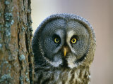 Portrait of Great Grey Owl (Strix Nebulosa) Behind Scots Pine Tree  Scotland  UK