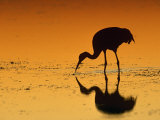 Sandhill Crane  Feeding at Sunset  Florida  USA