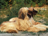 Domestic Dogs  Two Afghan Hounds Lying Side by Side