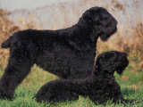 Domestic Dogs  Russian Black Terrier with Pup