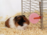 Guinea Pig Feeding at Mineral Stone