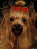 Yorkshire Terrier with Hair Tied Up