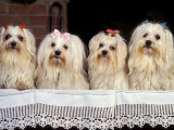 Domestic Dogs  Four Maltese Dogs Sitting in a Row  All with Bows in Their Hair