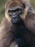 Lowland Gorilla