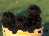 Domestic Dogs  Three Russian Black Terrier Puppies in a Basket