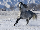 Grey Andalusian Stallion Cantering in Snow  Longmont  Colorado  USA