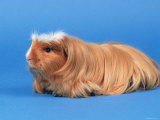 Satin Gold American Crested Coronet Guinea Pig