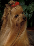 Yorkshire Terrier with Hair Tied up and Long Hair