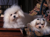 Domestic Dogs  Two Maltese Dogs  One Groomed and the Other Ungroomed