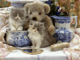 9-Week  Blue Bicolour Persian Kitten  Brindle Teddy Bear and Victorian Staffordshire Wash-Stand Set