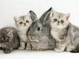 Three Silver Exotic Kittens with Silver Lop Rabbit