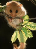 Common Dormouse  Belgium