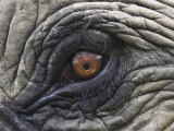 Close up of Indian Elephant Eye (Domestic)  Kaziranga National Park  Assam  India