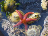Blood Star  with Limpets and Barnacles Exposed at Low Tide  Tongue Point  Washington  USA