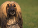 Afghan Hound Face Portrait