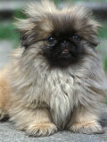 Pekingese Puppy Portrait