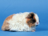 Texel Guinea Pig