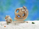 Gerbil at Play
