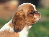 King Charles Cavalier Spaniel Puppy Profile