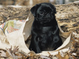 Pug Puppy in Sacking  USA