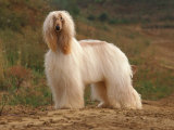 Afghan Hounds Portrait