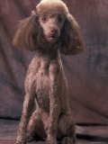 Brown Miniature Poodle Studio Portrait with Full Ears But Most of Its Hair Clipped