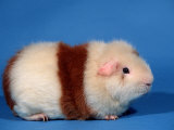 Red and White Rex Guinea Pig