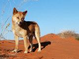 Dingo on Sand Dunes  Northern Territory  Australia