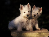 Domestic Dogs  Two West Highland Terrier / Westie Puppies Sitting Together