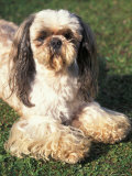 Shih Tzu Lying on Grass with Facial Hair Cut Short and Showing Hairy Paws