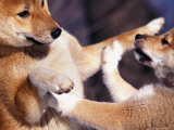 Domestic Dogs  Two Young Shiba Inus Playfighting