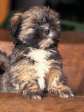 Lhasa Apso Puppy Portrait