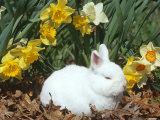 Baby Netherland Dwarf Rabbit  Amongst Daffodils  USA
