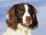 English Springer Spaniel Portrait  Wisconsin  USA