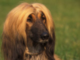 Domesitic Dog  Afghan Hound Face Portrait